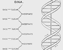 DNA Diagram - Watson and Crick 1953