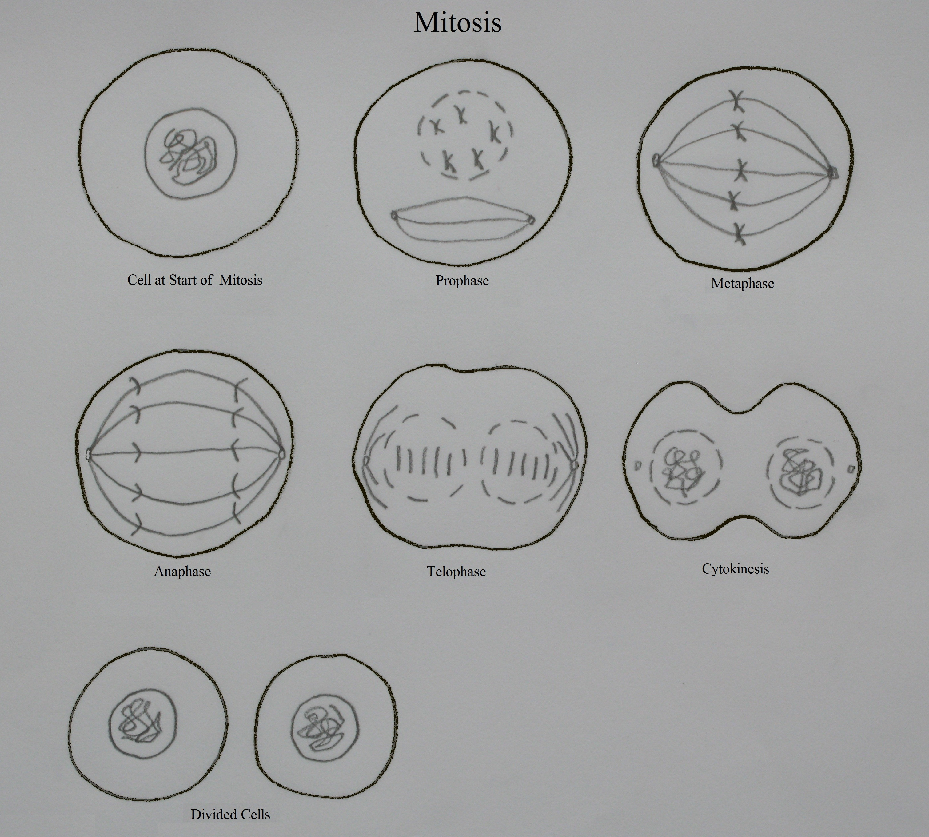 mitosis cell nucleus Freebase (000 / 0 votes) rate this definition: mitosis mitosis is the process by which a cell, which has previously replicated each of its chromosomes, separates the chromosomes in its cell nucleus into two identical sets of chromosomes, each set in its own new nucleus.